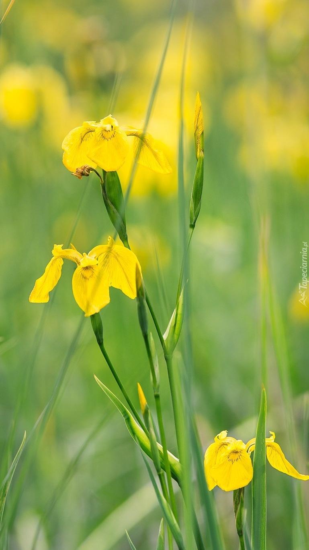 Żółte irysy