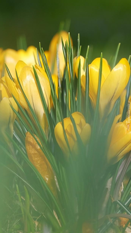 Żółte krokusy