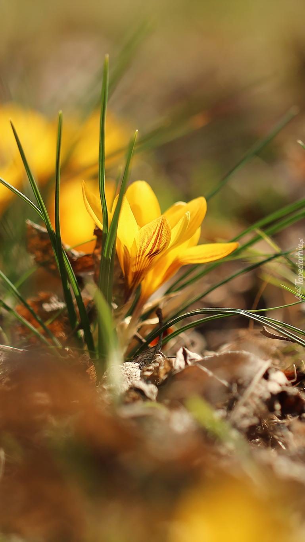 Żółte krokusy w trawie
