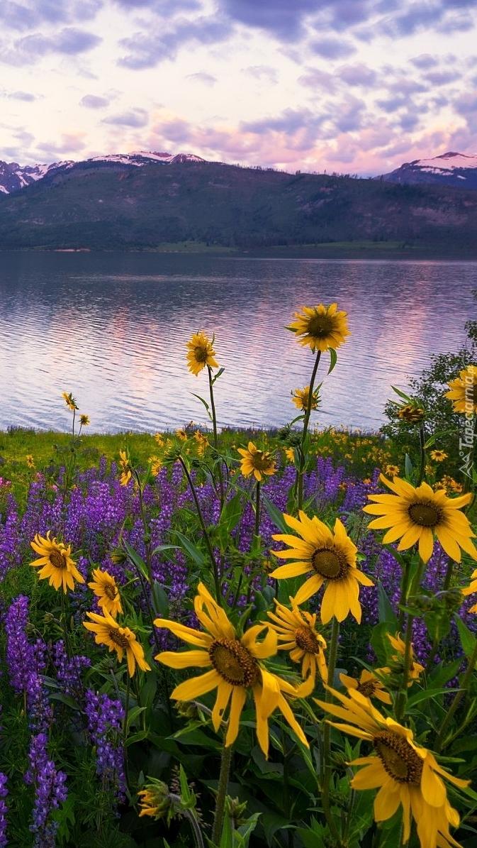 Żółte kwiaty i łubin nad brzegiem jeziora