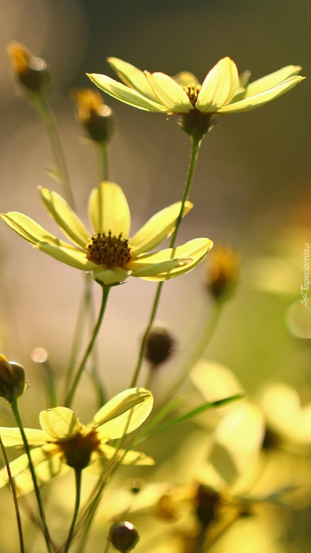 Żółte kwiaty kosmei