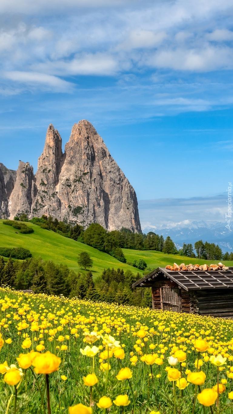 Żółte kwiaty na tle Dolomitów