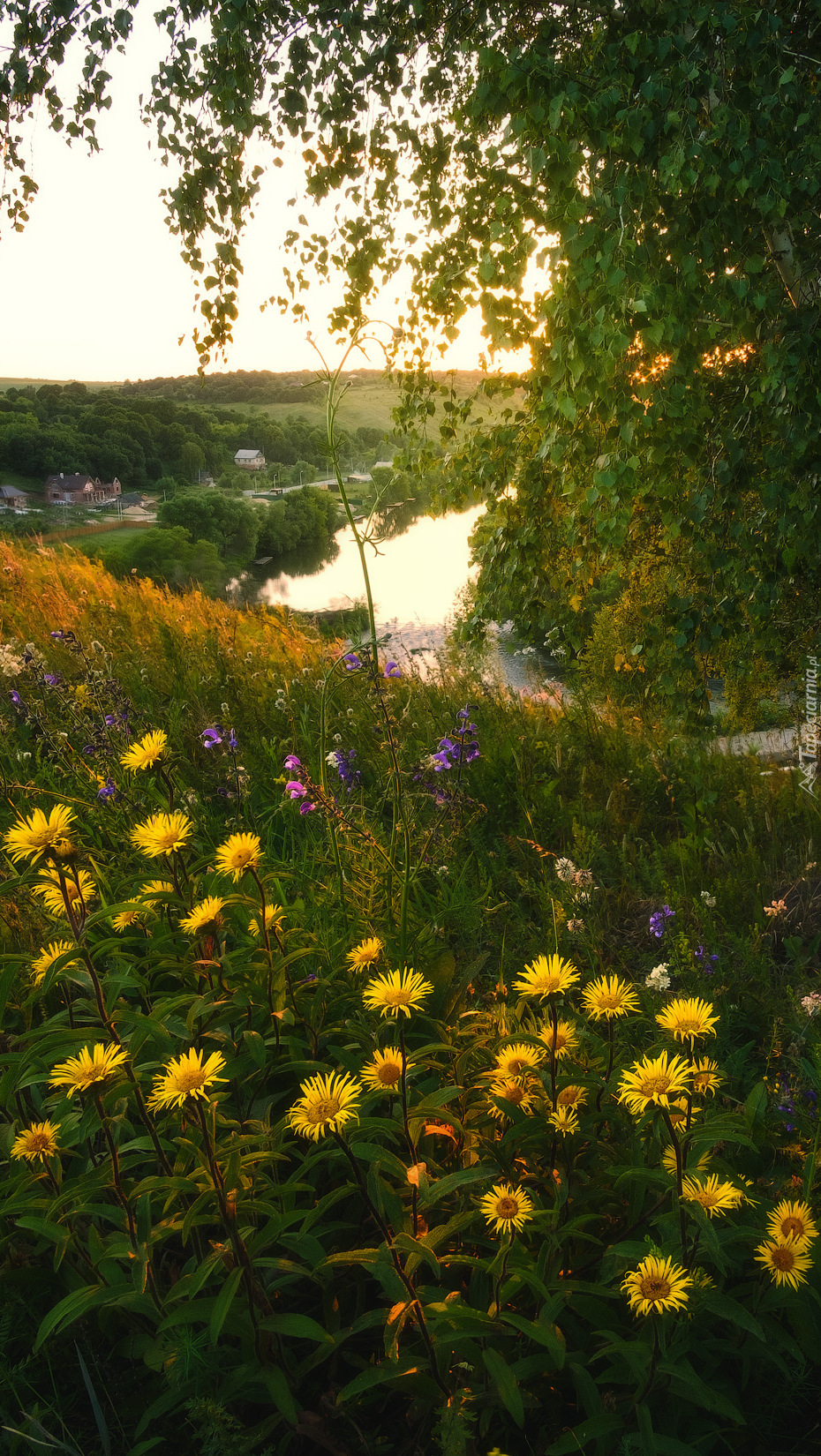 Żółte kwiaty nad rzeką Krasivaya Mecha