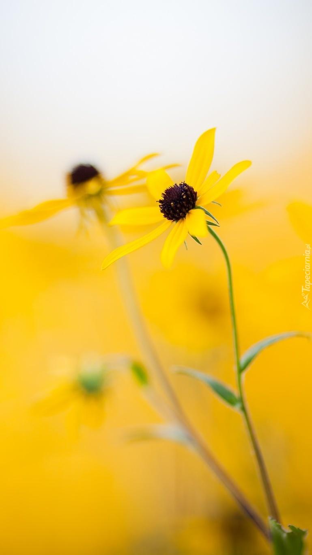 Żółte kwiaty rudbekii