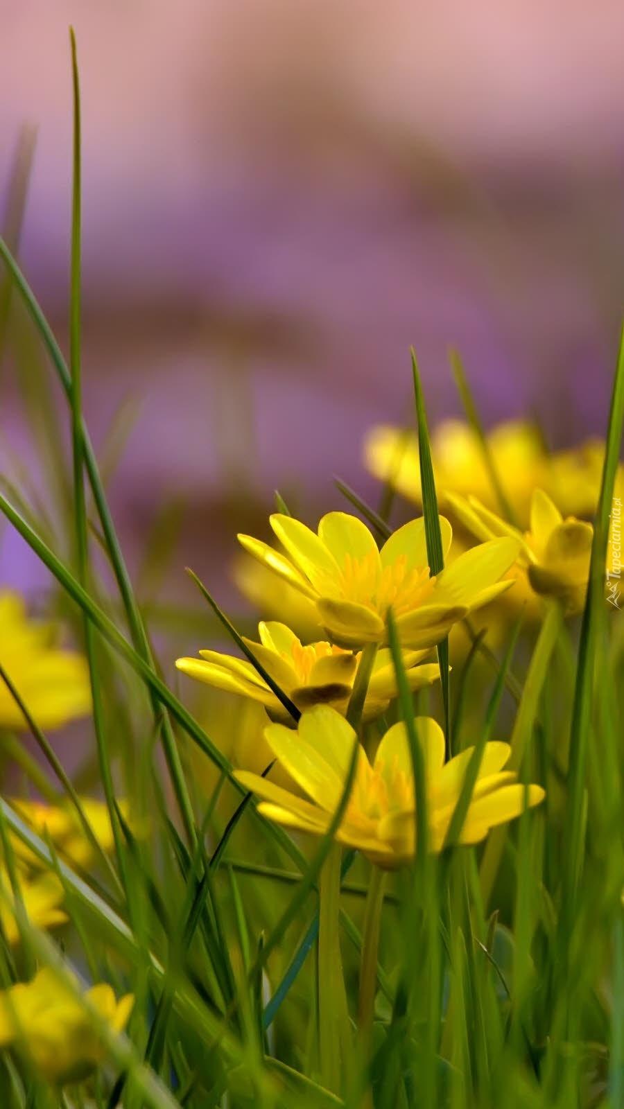 Żółte kwiaty wśród traw