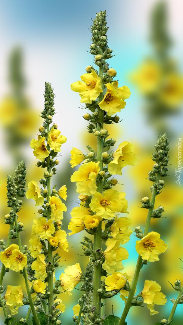 Żółte malwy