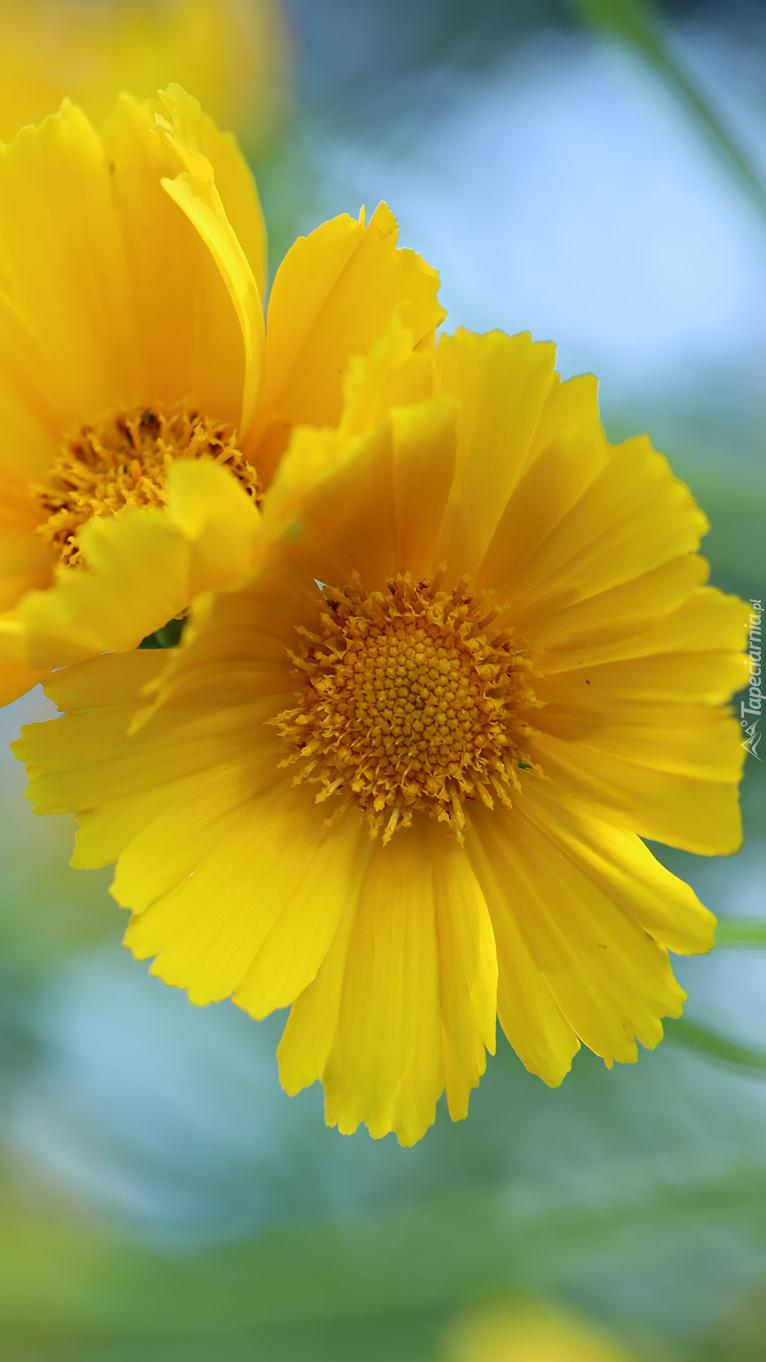 Żółte nachyłki