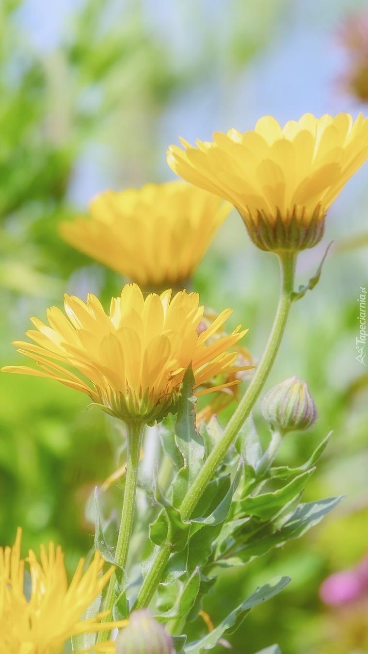 Żółte nagietki