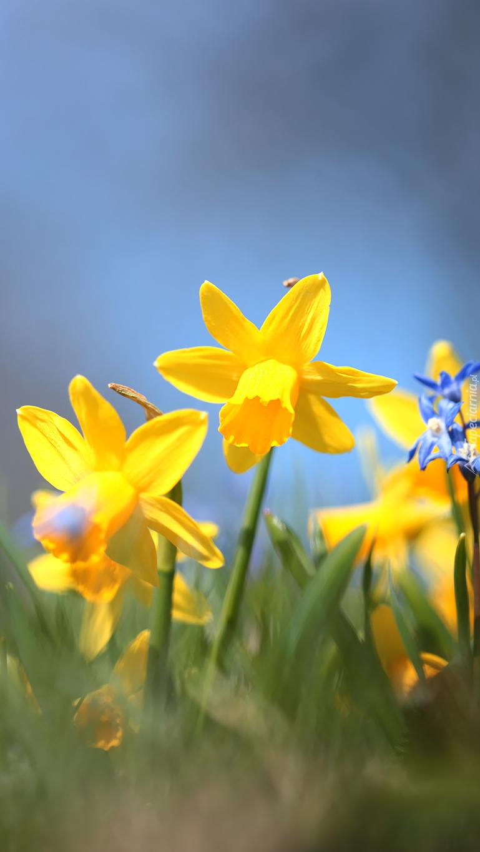 Żółte narcyzy w trawie