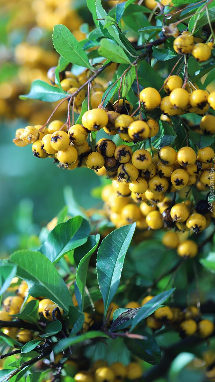 Żółte owoce na gałązkach