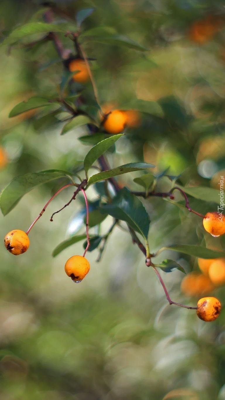 Żółte owoce ognika szkarłatnego