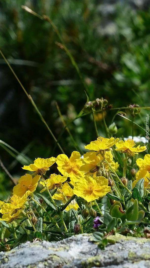 Żółte posłonki alpejskie