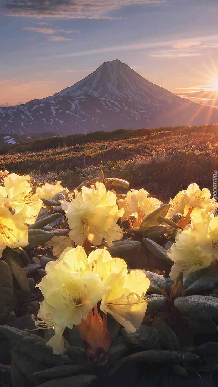 Żółte różaneczniki z widokiem na stratowulkan Wiluczyński