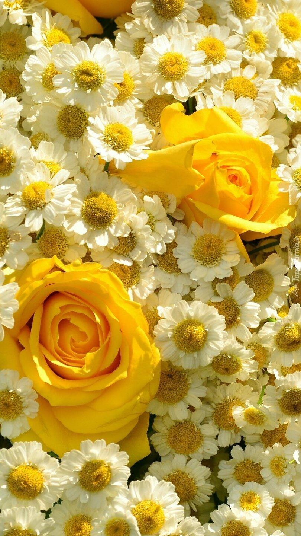 Żółte róże w rumianach rzymskich