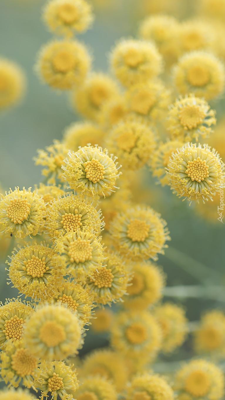 Żółte santoliny cyprysikowate
