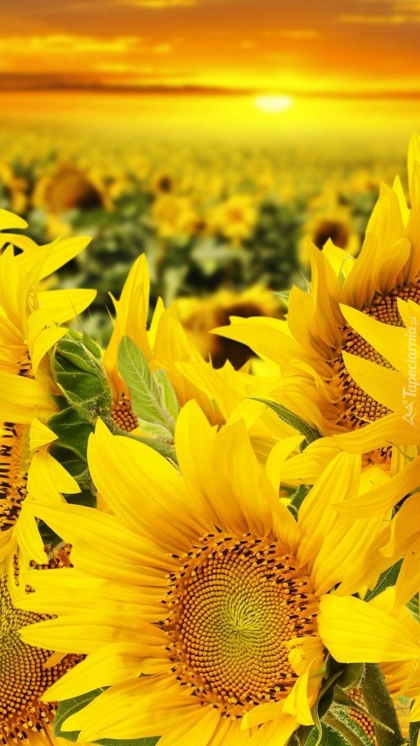 Żółte słoneczniki o zachodzie słońca