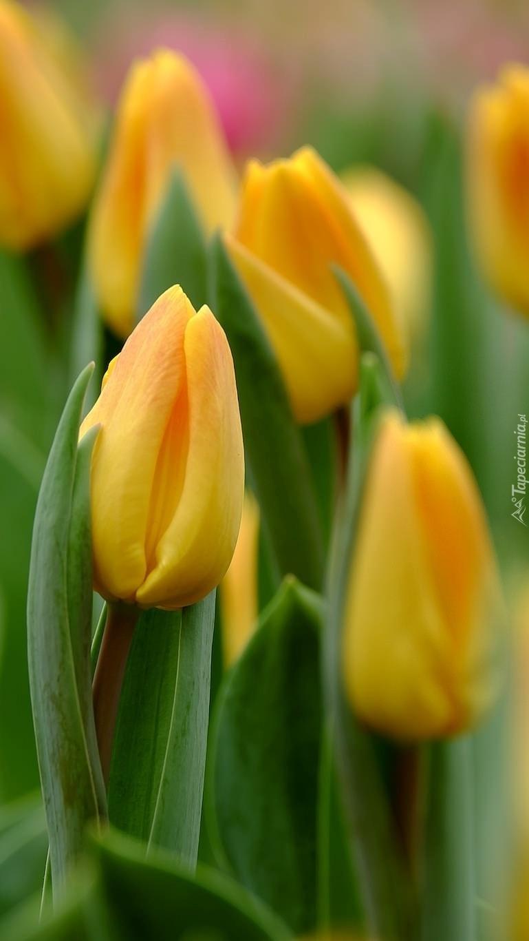 Żółte tulipany w rozkwicie