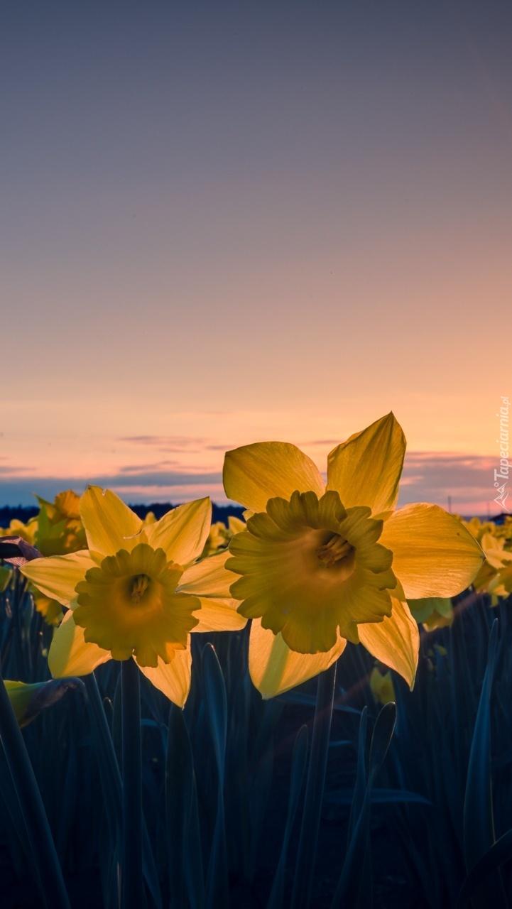 Żółte żonkile o zachodzie słońca