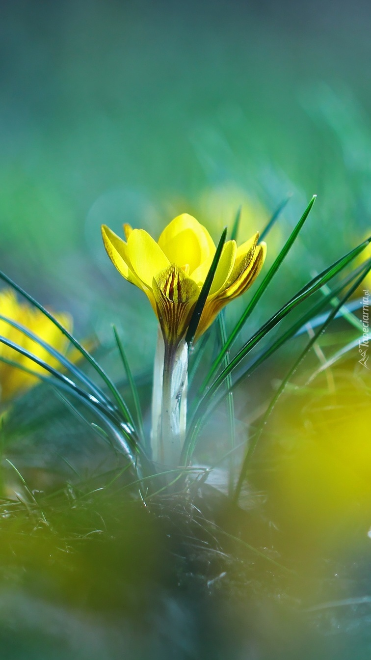 Żółte zwiastuny wiosny