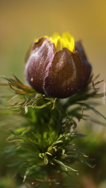 Żółto-bordowy pąk
