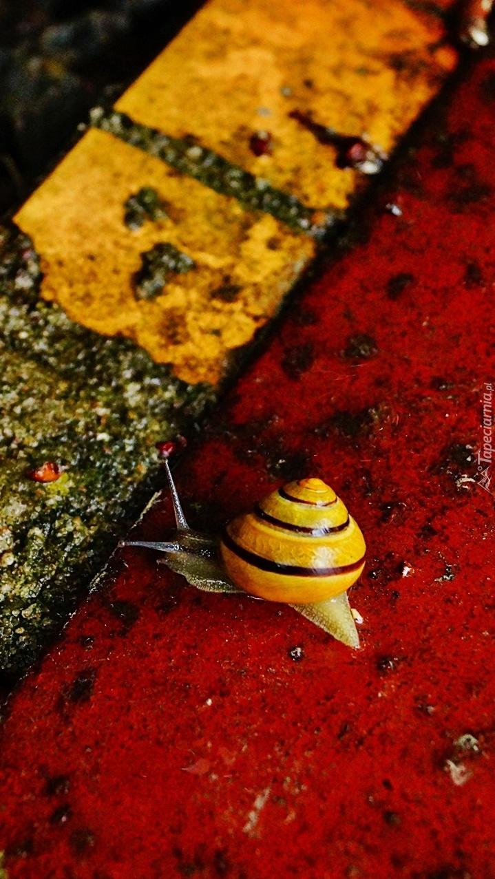 Żółto-czarna muszla ślimaka