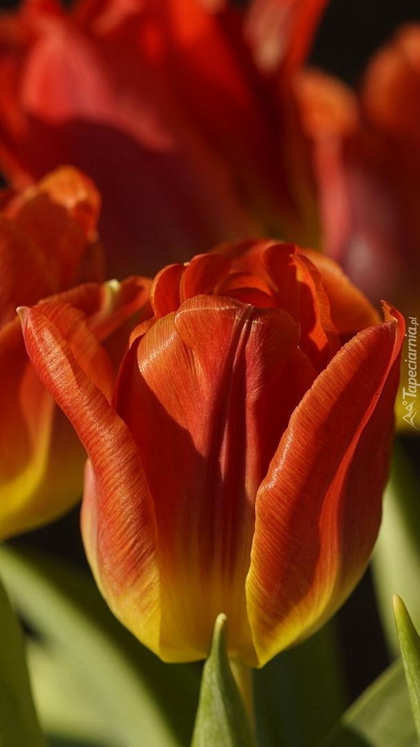 Żółto-czerwony tulipan w zbliżeniu