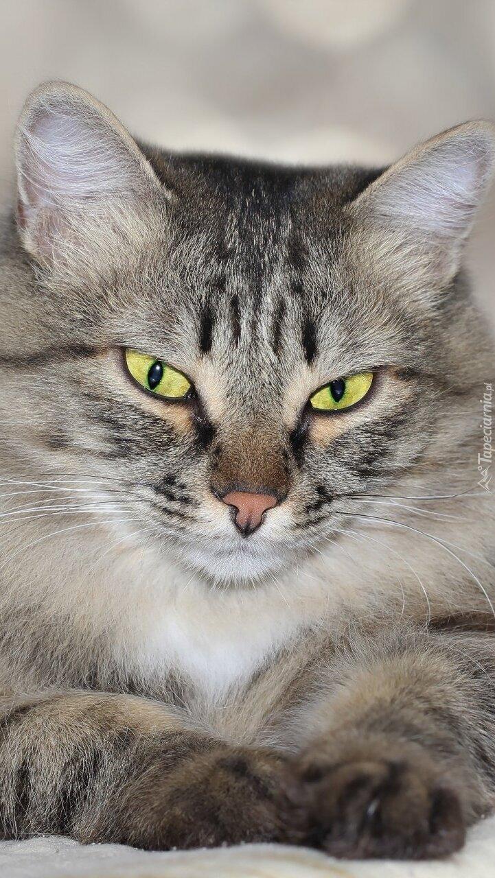 Żółtooki szary kot