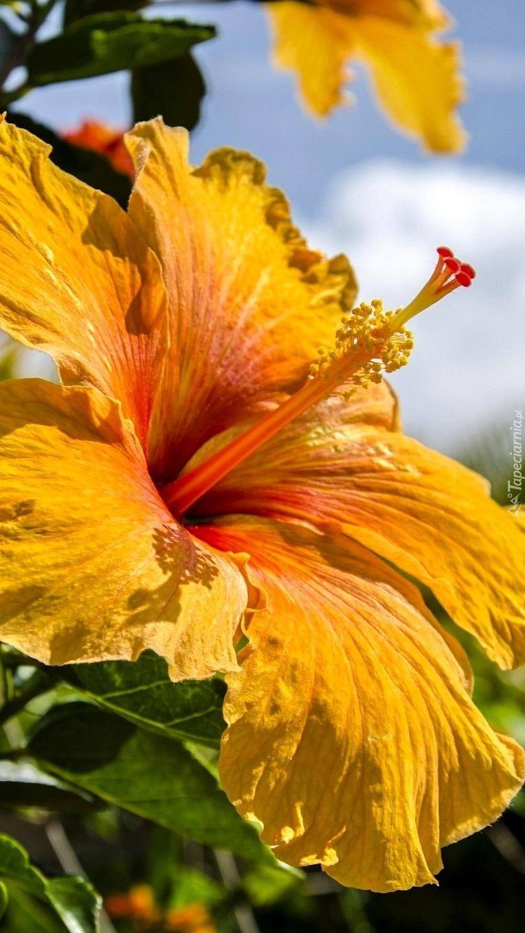 Żółty hibiskus
