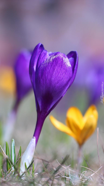 Żółty i fioletowy krokus