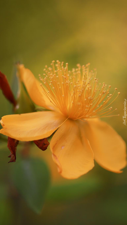 Żółty kwiat dziurawca