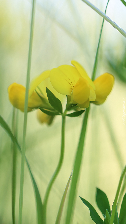 Żółty kwiat komornicy