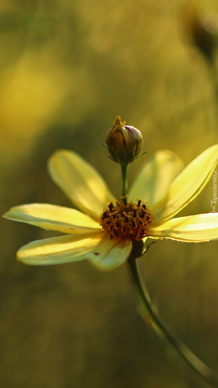 Żółty kwiat kosmei