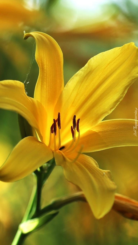 Żółty kwiat liliowca
