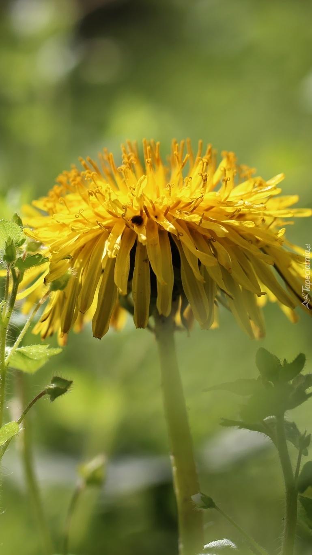 Żółty kwiat mniszka pospolitego