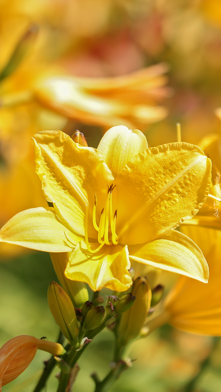 Żółty liliowiec w słońcu