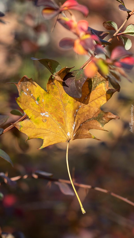 Żółty liść klonu