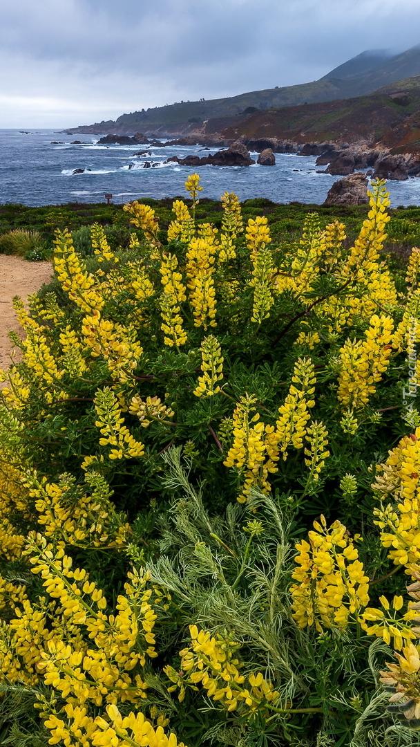 Żółty łubin na morskim wybrzeżu