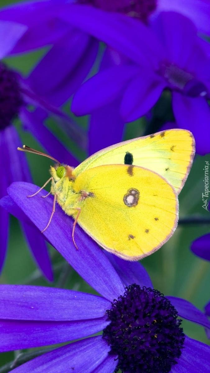 Żółty motyl na fioletowym kwiatku