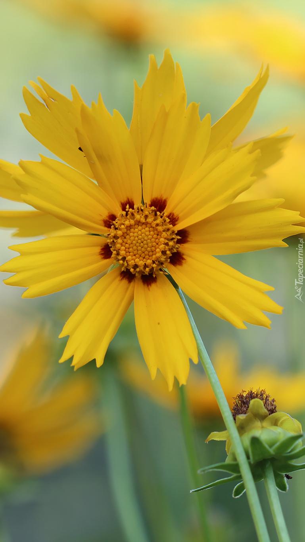 Żółty nachyłek lancetowaty