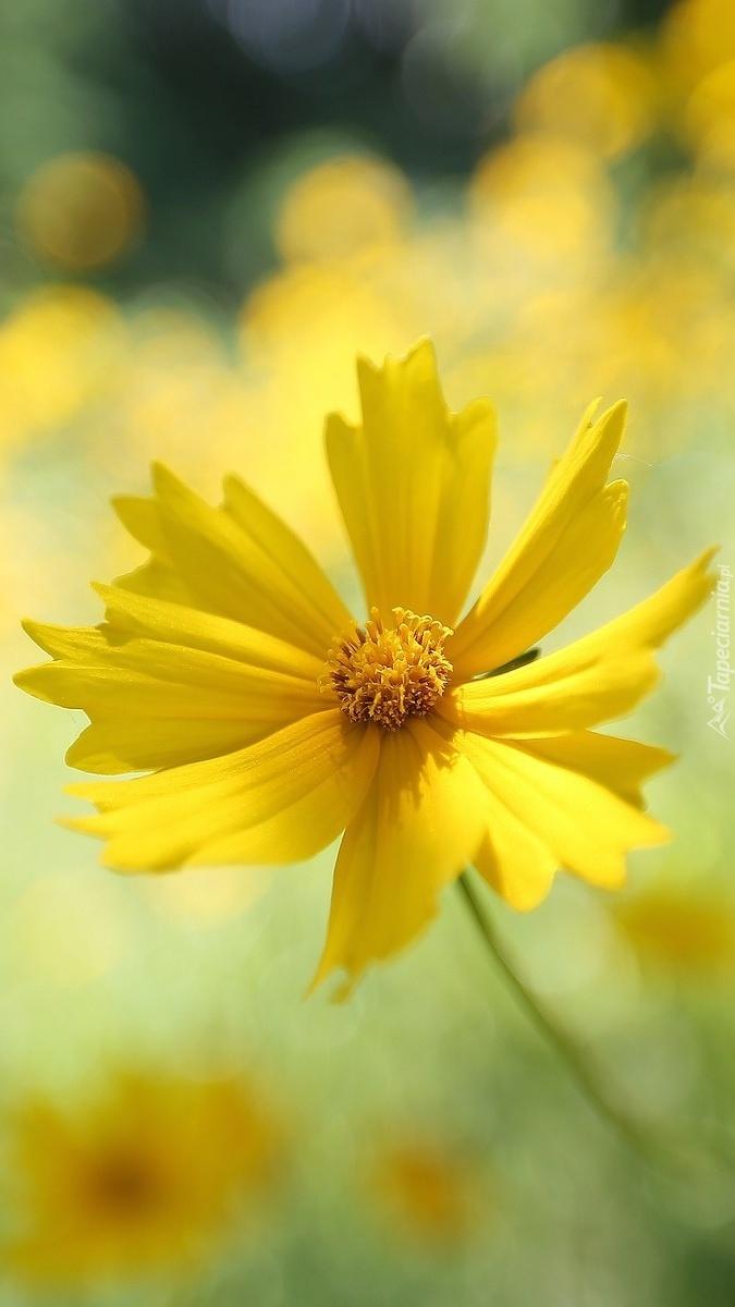Żółty nachyłek w zbliżeniu