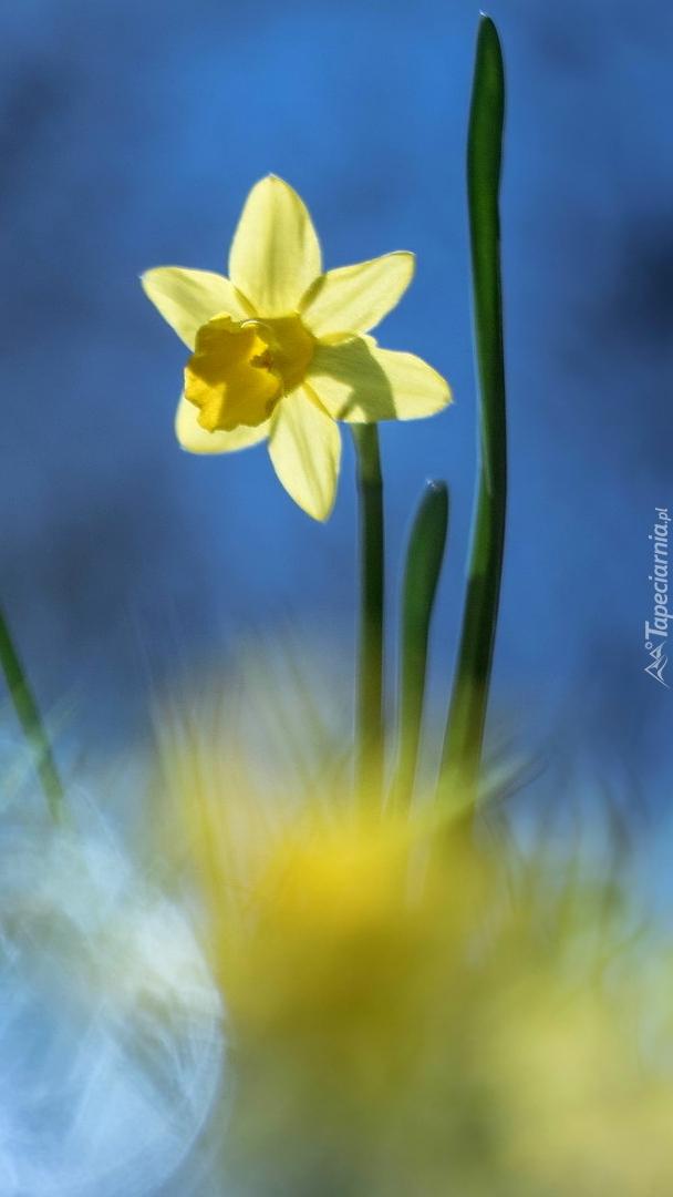 Żółty narcyz na niebieskim tle