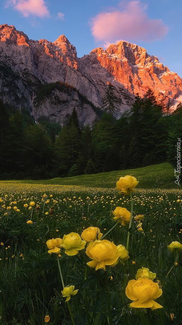 Żółty pełnik na górskiej łące