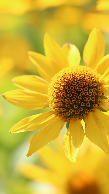 Żółty słoneczniczek