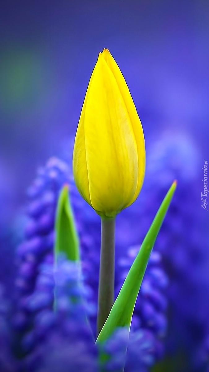 Żółty tulipan wśród szafirków
