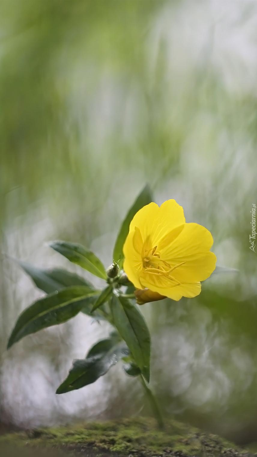 Żółty wiesiołek z listkami