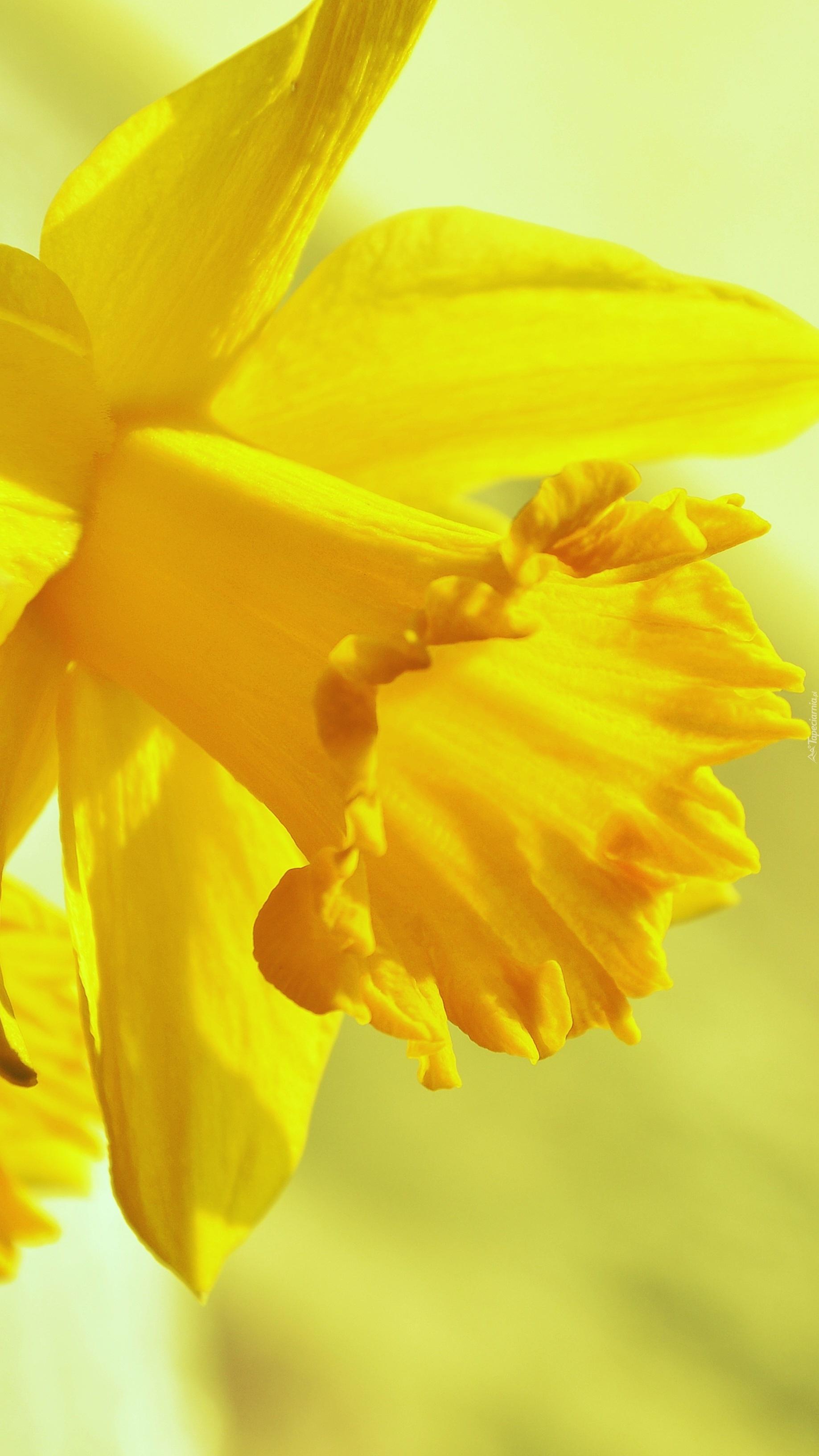 Żółty żonkil