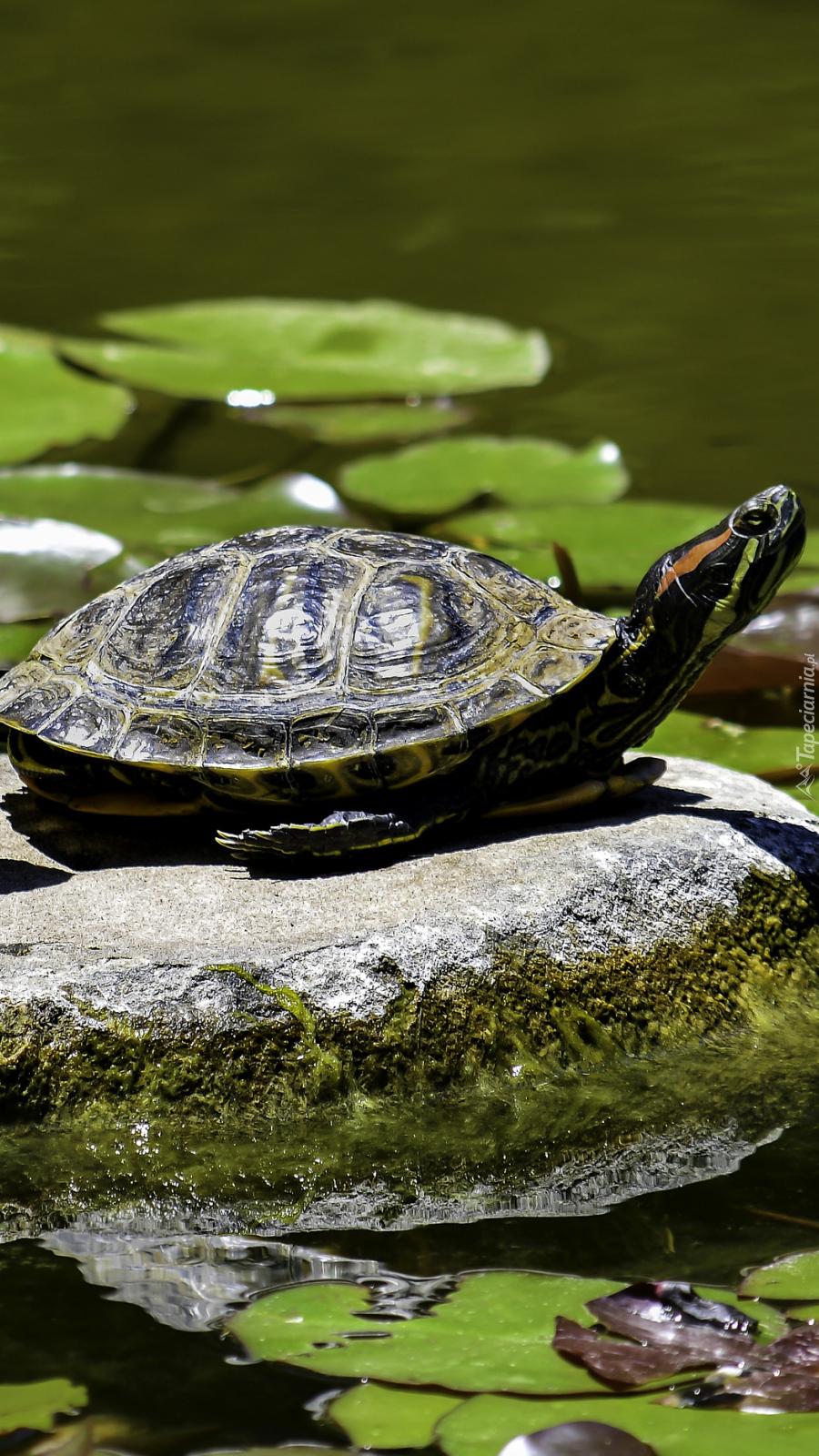 Żółw na kamieniu