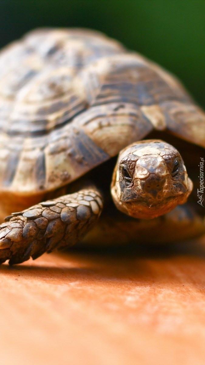 Żółw pozujący do zdjęcia