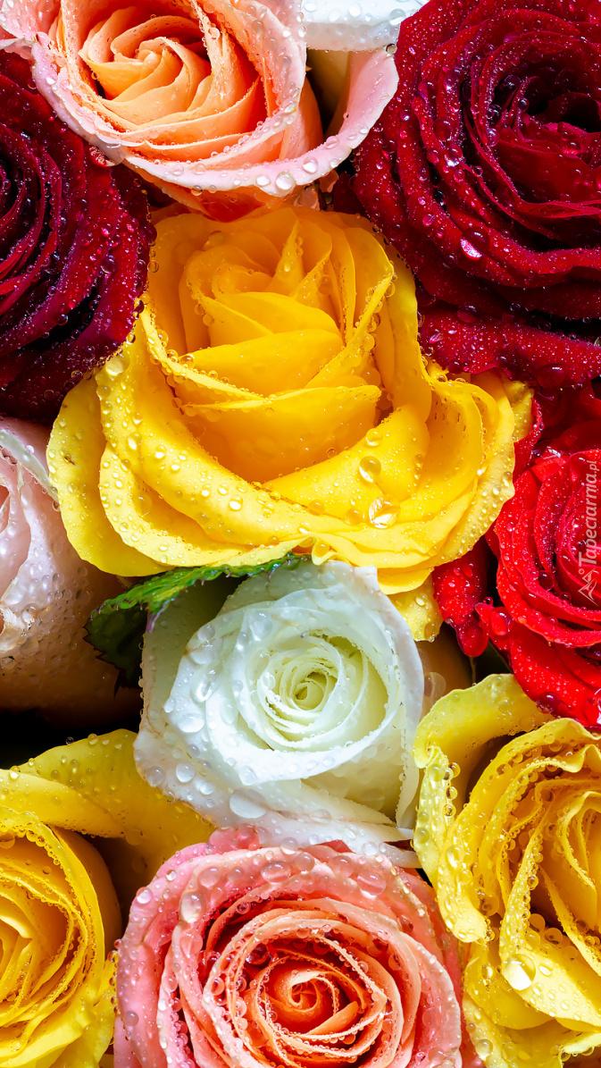 Zroszone kolorowe róże