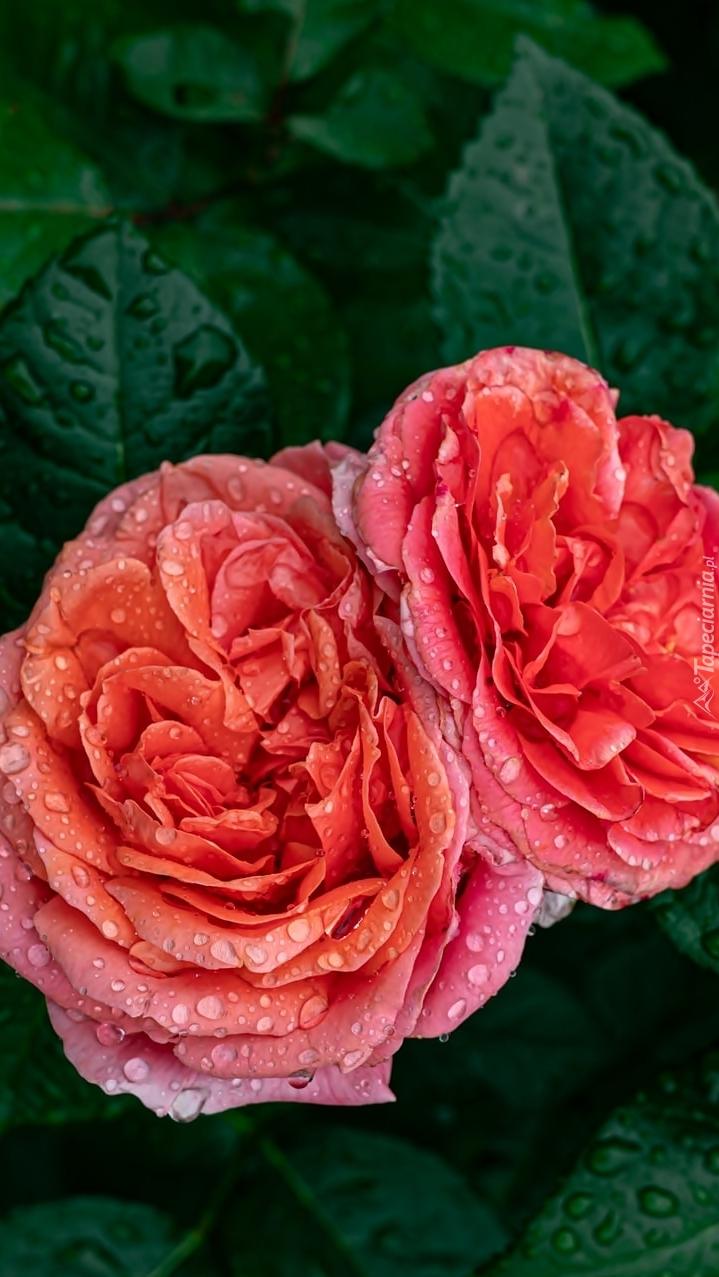 Zroszone róże
